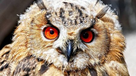 owl, eyes, predator