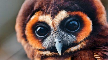 owl, face, eyes