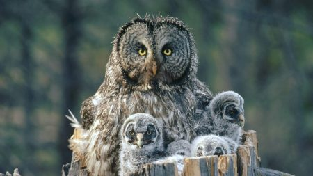 owl, face, fur