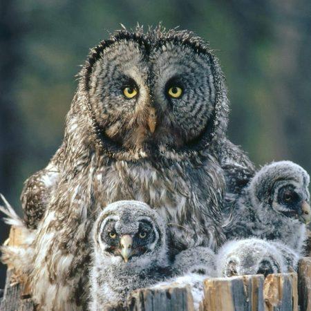 owl, face, fur