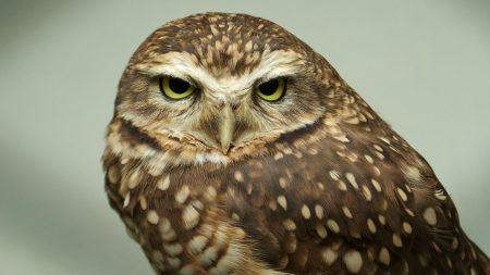 owl, face, predator