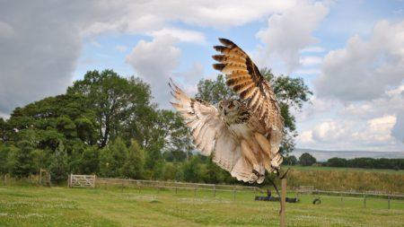 owl, flap, wings