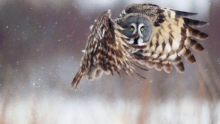 owl, flying, bird