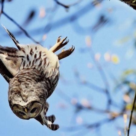owl, flying, sky