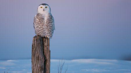 owl, tree stump, snow