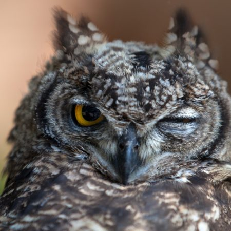 owl, wink, feathers