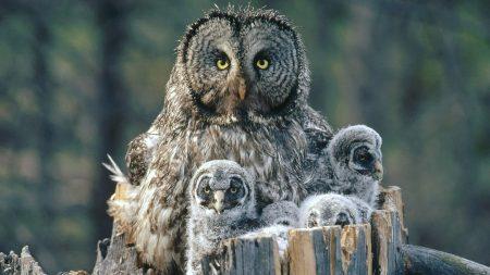 owl, young, stump