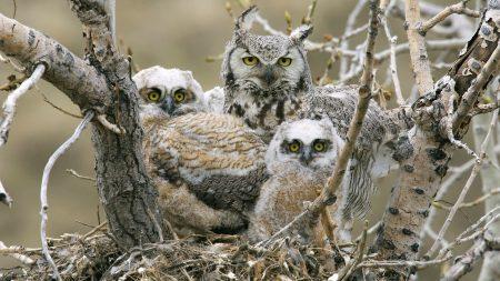 owls, birds, predators
