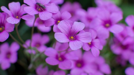 oxalis, flowers, purple