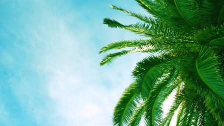 palm tree, krone, branches