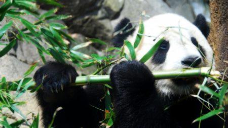 panda, bamboo, game