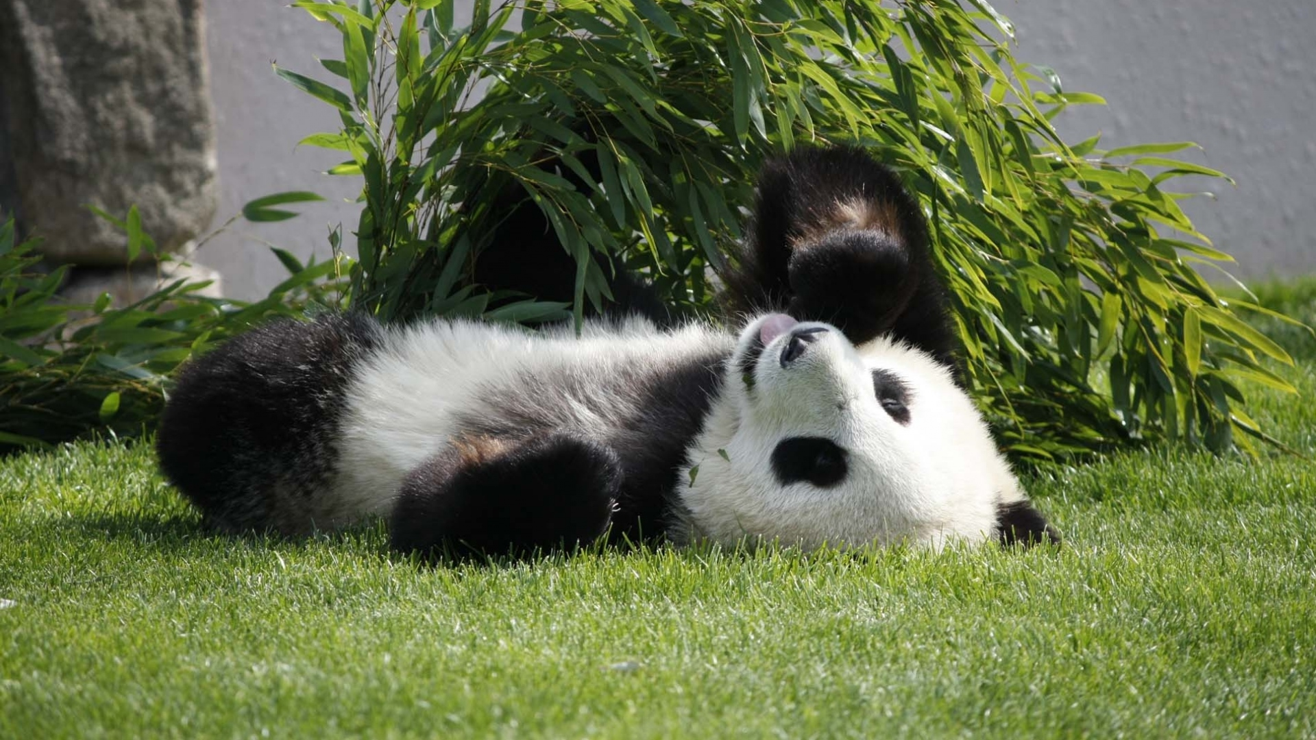 Earnings Disclaimer >> Download Wallpaper 1920x1080 panda, lie, grass Full HD 1080p HD Background
