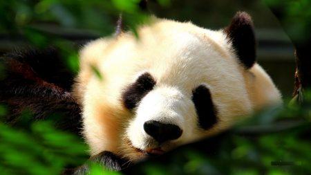 panda, muzzle, grass
