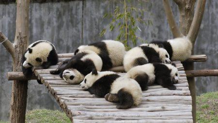 panda, set, lie