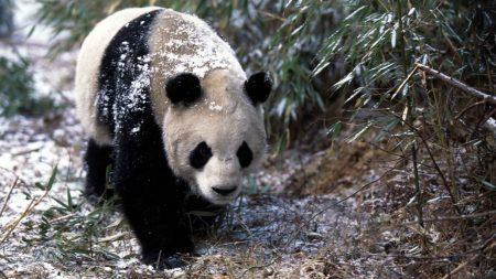 panda, snow, grass