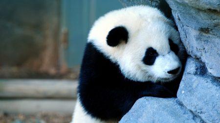 panda, wall, sadness