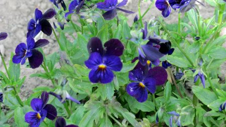 pansies, blue, flowers
