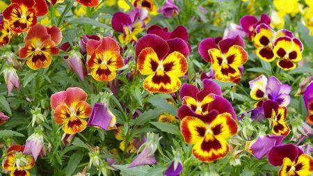 pansies, colorful, flowers