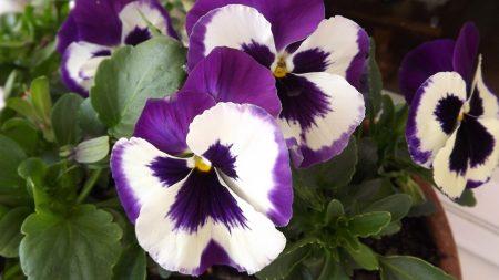 pansies, flower, pot