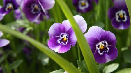 pansies, flowers, close-up