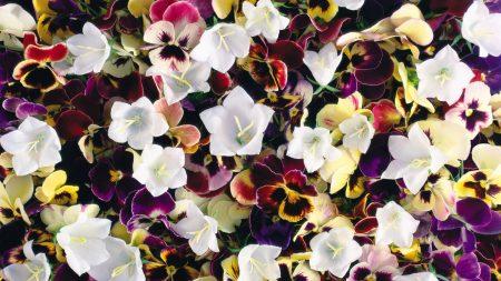 pansies, flowers, colorful