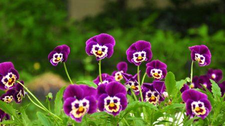 pansies, flowers, faces
