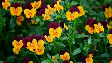 pansies, flowers, field