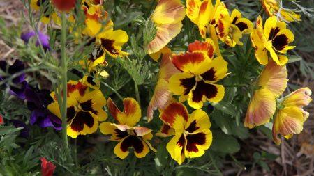 pansies, flowers, herbs