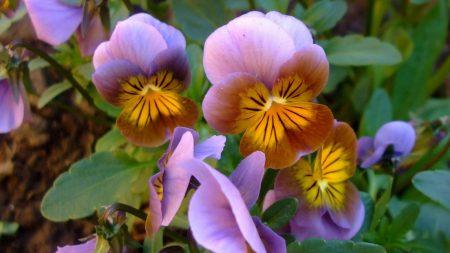 pansies, flowers, leaves