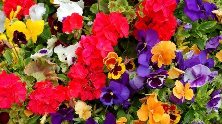 pansies, geraniums, flowers