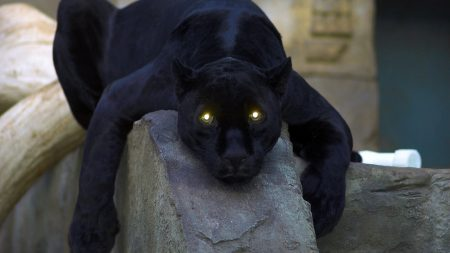 panther, dark, big cat