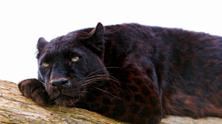 panther, down, big cat