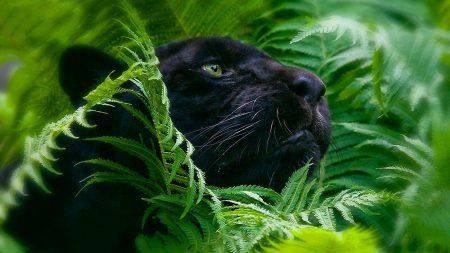 panther, grass, big cat