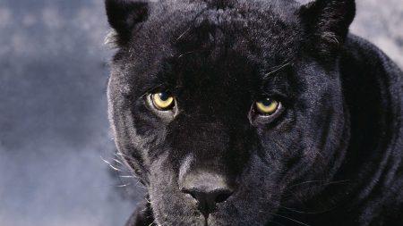 panther, muzzle, eyes