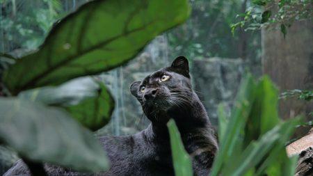 panther, predator, lie