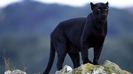 panther, stones, big cat