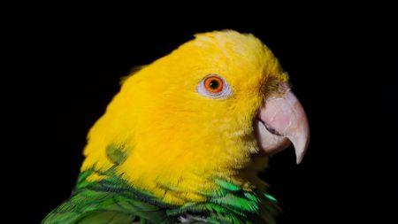 parrot, beak, black
