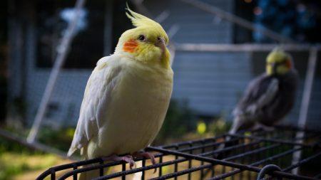 parrot, cage, sit