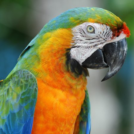 parrot, colorful, beak
