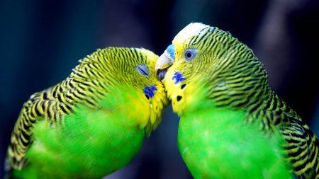 parrot, couple, striped