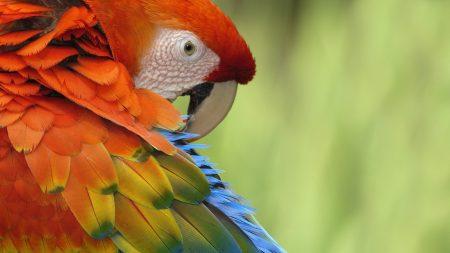 parrot, feathers, color