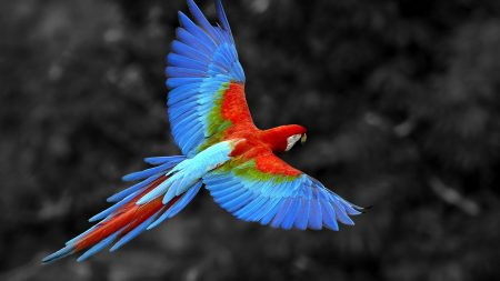 parrot, flying, colorful