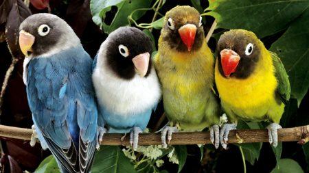 parrots, bird, colorful