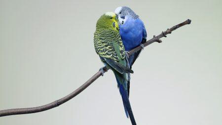 parrots, couple, budgies