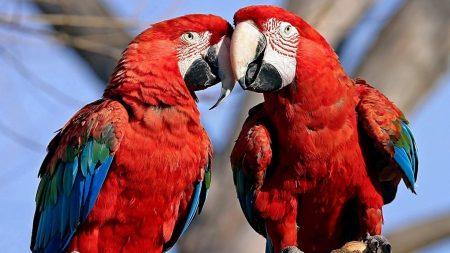 parrots, couple, color