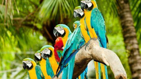 parrots, flock, colorful