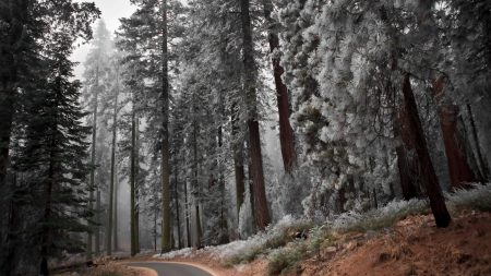 path, hoarfrost, pines