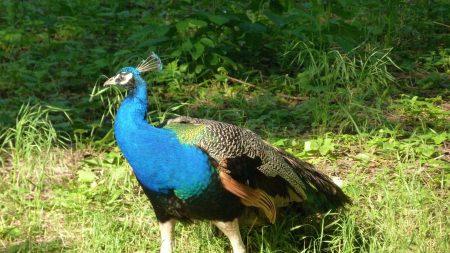 peacock, feathers, bird