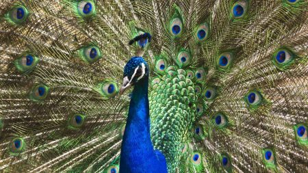 peacock, tail, patterns