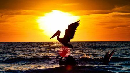 pelican, bird, flying
